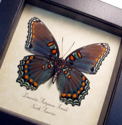 Limenitis Astyanax Female verso Red Spotted Purple North American Real Framed Butterfly