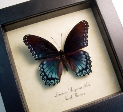 Limenitis Astyanax Male Red Spotted Purple Real Framed Blue Butterfly