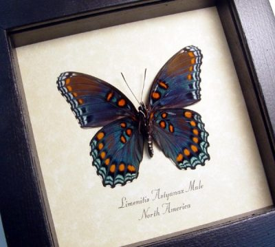 Limenitis Astyanax Male Verso Red Spotted Purple Real Framed Blue Butterfly