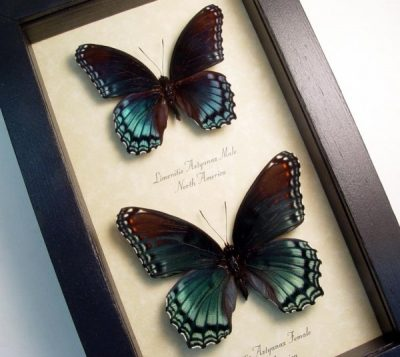 Limenitis Astyanax Pair Red Spotted Purple Real Framed Blue Orange Green Butterfly Set