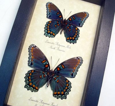 Limenitis Astyanax Pair Verso Red Spotted Purple Real Framed Blue Orange Green Butterfly Set
