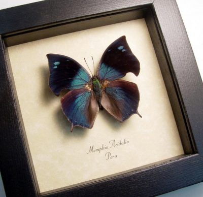 Anaea acidalia Real Framed Blue Hatchet Wing Peru Tailed Butterfly