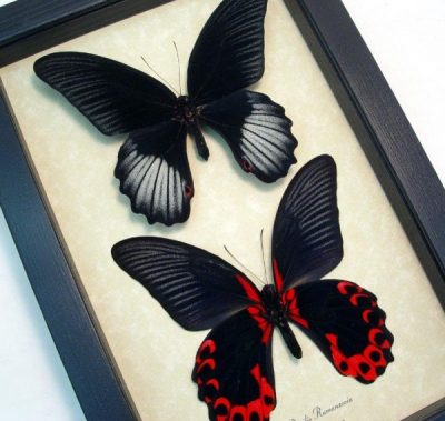 Papilio rumanzovia Pair Scarlet Mormon Real Framed Black Red Butterflies