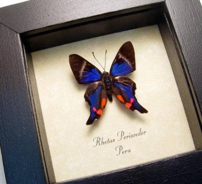 Rhetus periander Metallic Blue Swallowtails Real Framed Butterflies