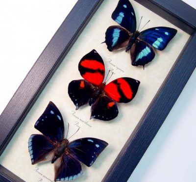 Anaea Butterfly Collection Real Framed Butterflies