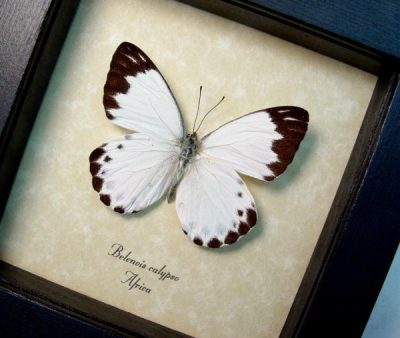 Belenois calypso Calypso White Real Framed African Butterfly