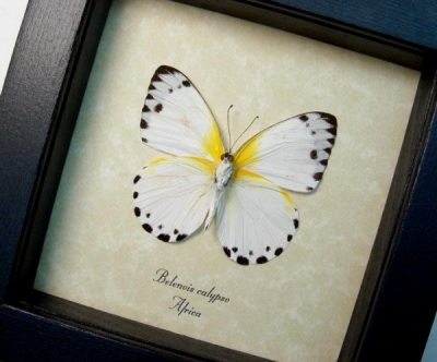 Belenois calypso Verso Calypso White Yellow Real Framed African Butterfly