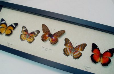 Cethosia Set of 5 Set Leopard Red Lacewing Butterflies
