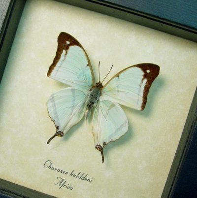 Charaxes kahldeni Rare Tailed Mint Green Butterfly