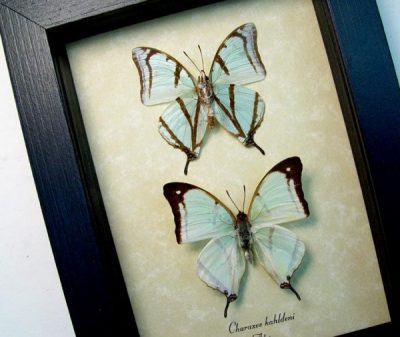 Charaxes kahldeni Pair Tailed Mint Green Butterflies
