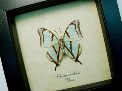 Charaxes kahldeni Verso tailed Mint Green Butterfly