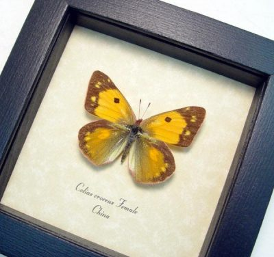 Colias croceus Female Dark Clouded Yellow Real Framed Orange Yellow Butterfly