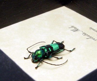 Glenea celestis male Real Framed Metallic Blue Green Longhorn Beetle