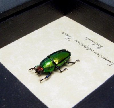 Lamprima Adolphinae Female Shiny Bright Green Stag Beetle
