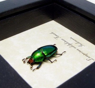 Lamprima Adolphinae Female Shiny Emerald Green Stag Beetle
