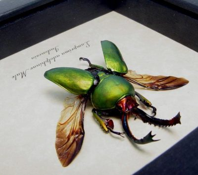 Lamprima Adolphinae Flying Real Framed Fighting Green Stag Beetle