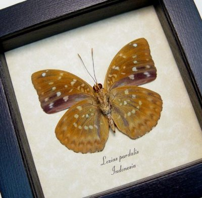 Lexias pardalis verso Common Archduke Orange Spotted Real Framed Butterfly