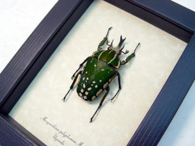 Mecynorhina polyphemus Real Rare Framed Giant African Fruit Beetle