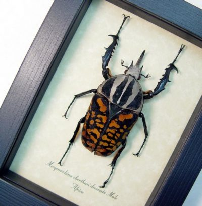 Mecynorrhina oberthuri decorata Male Real Rare Framed Red African Flower Beetle
