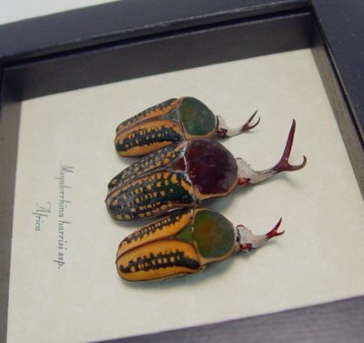 Megalorrhina harrisi Set 3 Antler Beetle Collection Real Framed African Beetles