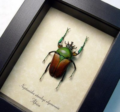 Neptunides stanleyi elgonensis Real Metallic Orange Green Framed African Beetle