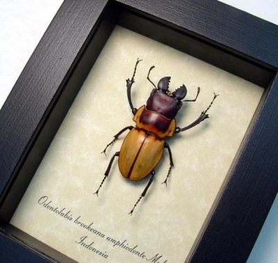Odontolabis brookeana Real Framed Large False Eyes Golden Stag Beetle