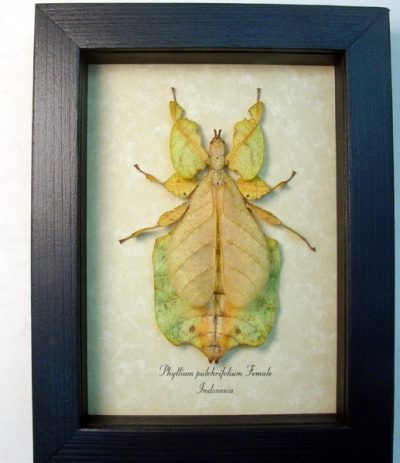 "Phyllium pulchrifolium mottled Form Female 3 3/4"" Walking Leaf Mimic Real Framed Insect"
