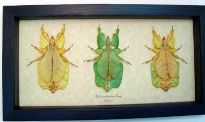 Phyllium pulchrifolium 3 Color Forms Female Set Walking Leaf Mimic Real Framed Insect