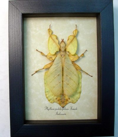 "Phyllium pulchrifolium yellow Form Female 3 3/4"" Walking Leaf Mimic Real Framed Insect"