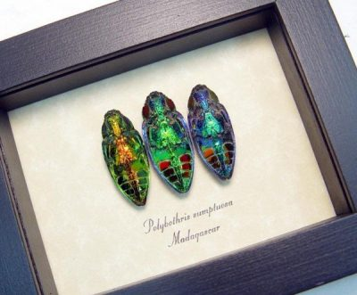 Polybothris sumptuosa Set 3 Jewel Beetle Collection Real Framed Beetles