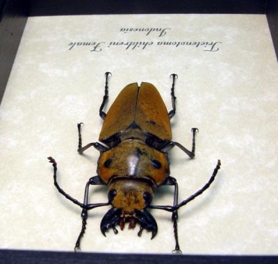 Trictenotoma childreni Female Real Framed Large Mandibles Steampunk Stag Beetle