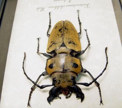 Trictenotoma childreni Male Real Framed Large Mandibles Steampunk Stag Beetle