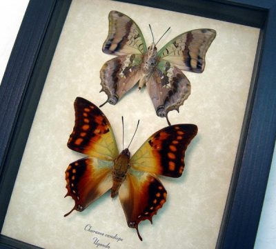 Charaxes candiope Pair Dagger Tail Butterflies