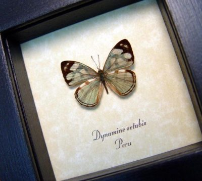 Dynamine setabis Real Framed Rare Metallic Sage Green Butterfly