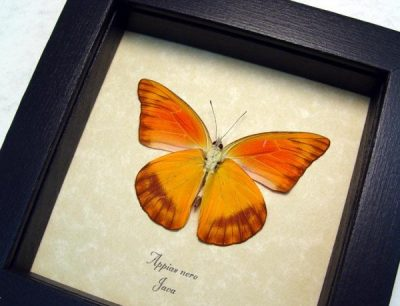 Appias nero Verso Orange Albatross Real Framed Butterfly