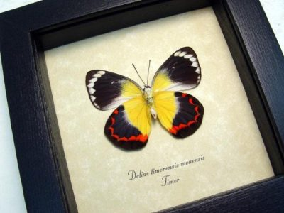 Delias timorensis moaensis verso Real Orange Yellow Framed Butterfly