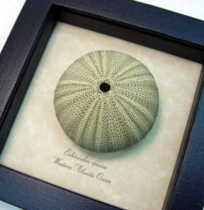 Urchin - Echinoidea sp Green Sea Urchin Real Framed Seashell Shell Ocean Nautical Art Specimen