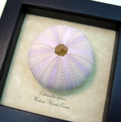 Urchin - Echinoidea sp Purple Sea Urchin Real Framed Seashell Shell Ocean Nautical Art Specimen