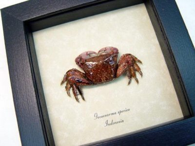 Crab - Geosesarma Sp. Purple Vampire Crab, Real Framed Display