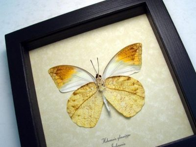 Hebomoia glaucippe Verso Great Orange Tip Leaf Mimic Real Framed Butterfly