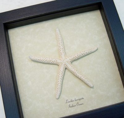 Starfish - Linckia laevigata, Linckia Sea Star, starfish,  Real Framed Starfish Ocean Nautical Art Specimen