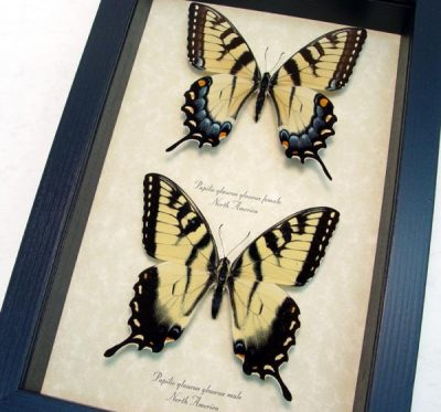 Papilio glaucus Set Male Female Yellow Tiger Swallowtail North American Butterflies