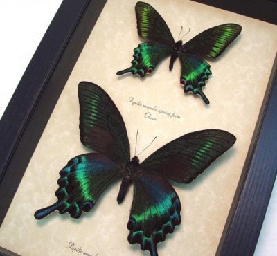 Papilio maackii Summer Spring Form Set Real Framed Giant Green Swallowtail Butterfly