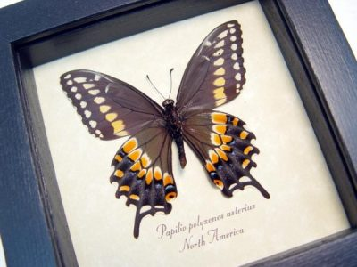 Papilio polyxenes verso Eastern Black Swallowtail Butterfly