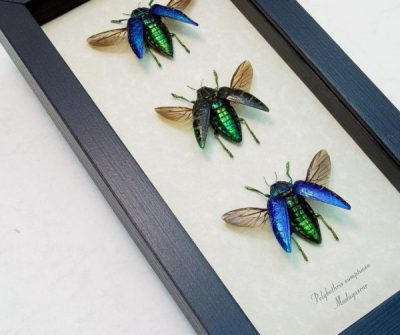 Polybothris sumptuosa Set 3 Flying Jewel Beetle Collection Real Framed Beetles