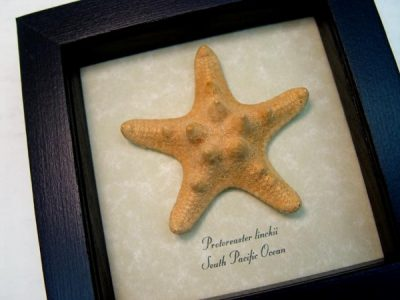 Starfish - Protoreaster linckii, the red knob sea star,  Real Framed Starfish Ocean Nautical Art Specimen