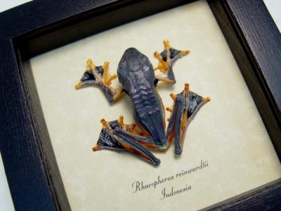 Frog - Rhacophorus Reinwardtii Leap Frog Parachute frogs or flying frog or Reinwardt's tree frog Real Framed
