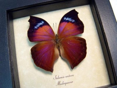 Salamis anteva Stunning purple orange Real Framed Butterfly