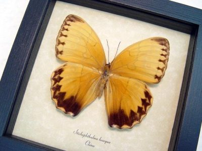 Stichophthalma howqua Jungle Queen Chess piece markings Real Framed Butterfly