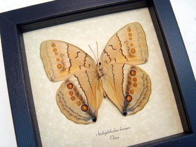 Stichophthalma howqua verso Jungle Queen Large eyespots Real Framed Butterfly